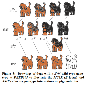 Canine size additive inheritance