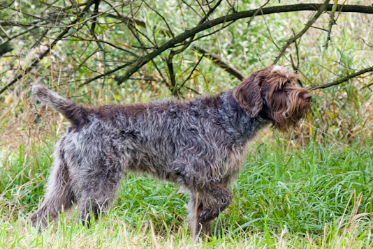 Is the Ky allele in Wirehaired Pointing Griffons evidence of cross ...
