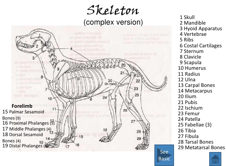 Pelvis Anatomy The Institute Of Canine Biology