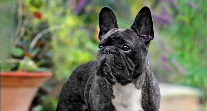 Icb French Bulldog Preservation Project The Institute Of